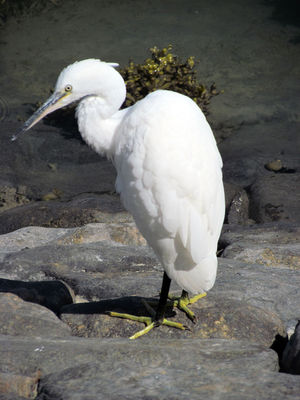 Little Egret photographed at QE2 Marina [QE2] on 25/7/2011. Photo: © Cindy  Carre