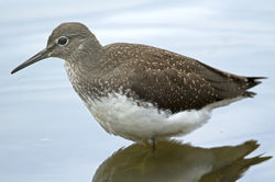 Green Sandpiper photographed at Grands Marais/Pre [PRE] on 26/7/2011. Photo: © Mike Cunningham