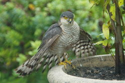 Sparrowhawk photographed at Rocquaine [ROC] on 16/7/2011. Photo: © Steve and Hilary Wild