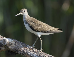 Green Sandpiper photographed at Grands Marais/Pre [PRE] on 30/7/2011. Photo: © Mike Cunningham