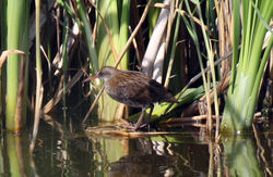 Water Rail photographed at Grands Marais/Pre [PRE] on 31/7/2011. Photo: © Cindy  Carre
