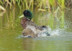 Mallard photographed at Grands Marais/Pre [PRE] on 2/8/2011. Photo: © Royston Carr�