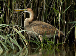 Purple Heron photographed at Grands Marais/Pre [PRE] on 3/8/2011. Photo: © Mike Cunningham