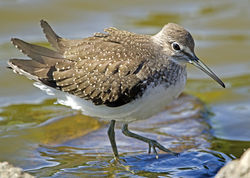 Green Sandpiper photographed at Grands Marais/Pre [PRE] on 3/8/2011. Photo: © Mike Cunningham