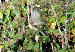 Melodious Warbler photographed at Pleinmont [PLE] on 5/8/2011. Photo: © Judy Down