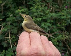 Melodious Warbler photographed at Claire Mare [CLA] on 6/8/2011. Photo: © Christopher Mourant