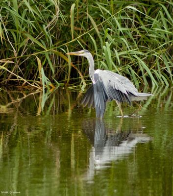 Grey Heron photographed at Grands Marais/Pre [PRE] on 6/8/2011. Photo: © Niall Broome