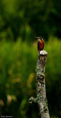 Kingfisher photographed at Grands Marais/Pre [PRE] on 6/8/2011. Photo: © Niall Broome