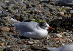 Mediterranean Gull photographed at Belle Greve Bay [BEL] on 8/8/2011. Photo: © Vic Froome