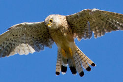 Kestrel photographed at Select location on 9/8/2011. Photo: © Rod Ferbrache