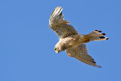 Kestrel photographed at Fort Hommet [HOM] on 9/8/2011. Photo: © Rod Ferbrache