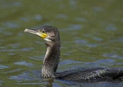 Cormorant photographed at Grands Marais/Pre [PRE] on 7/8/2011. Photo: © Royston Carr�