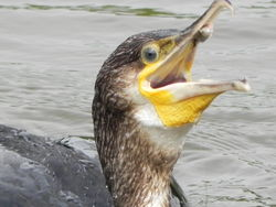 Cormorant photographed at Le Grand Pre NR on 12/8/2011. Photo: © Tony Bisson