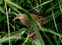 Water Rail photographed at Grands Marais/Pre [PRE] on 15/8/2011. Photo: © Mike Cunningham