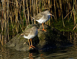 Redshank photographed at Pulias [PUL] on 15/8/2011. Photo: © Mike Cunningham