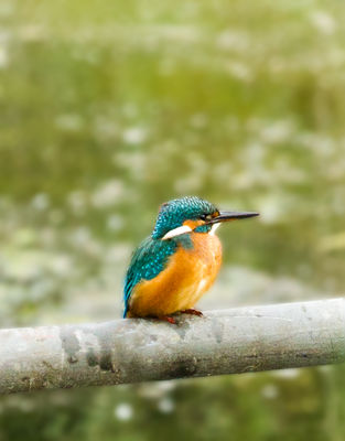 Kingfisher photographed at Vale Pond [VAL] on 18/8/2011. Photo: © Anthony Loaring