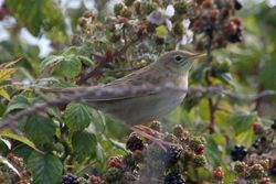 Grasshopper Warbler photographed at Herm [HER] on 19/8/2011. Photo: © Dave Andrews