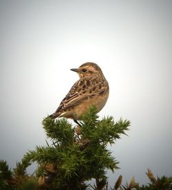 Whinchat photographed at Pleinmont [PLE] on 21/8/2011. Photo: © Mark Guppy