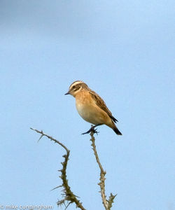 Whinchat photographed at Pleinmont [PLE] on 20/8/2011. Photo: © Mike Cunningham