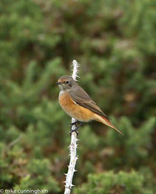 Redstart photographed at Pleinmont [PLE] on 20/8/2011. Photo: © Mike Cunningham