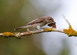 Spotted Flycatcher photographed at Marais Nord/Vale Marais [NOR] on 24/8/2011. Photo: © Vic Froome