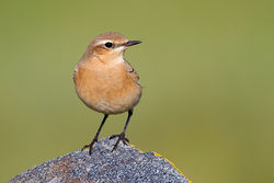 Wheatear photographed at Albecq [ALB] on 26/8/2011. Photo: © Chris Bale