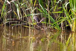 Water Rail photographed at Grands Marais/Pre [PRE] on 22/8/2011. Photo: © Allan Phillips