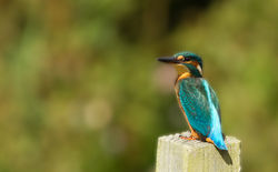 Kingfisher photographed at Rue des Bergers [BER] on 27/8/2011. Photo: © Anthony Loaring