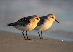 Sanderling photographed at L\'Eree [LER] on 28/8/2011. Photo: © Adrian Gidney