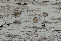 Little Stint photographed at L\'Eree [LER] on 31/8/2011. Photo: © Judy Down