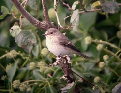 Spotted Flycatcher photographed at Fort Saumarez [FSA] on 4/9/2011. Photo: © Mark Guppy