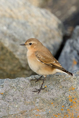 Wheatear photographed at Fort Doyle [DOY] on 5/9/2011. Photo: © Rod Ferbrache