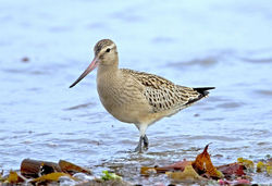 Bar-tailed Godwit photographed at Vazon [VAZ] on 7/9/2011. Photo: © Mike Cunningham