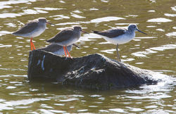 Redshank photographed at Port Soif Nature Trail [SO2] on 11/9/2011. Photo: © Allan Phillips