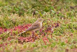 Tawny Pipit photographed at Colin Best NR [CNR] on 12/9/2011. Photo: © Vic Froome