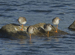 Redshank photographed at Pulias on 13/9/2011. Photo: © Mike Cunningham