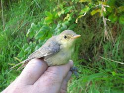 Melodious Warbler photographed at Trinity [TRI] on 15/9/2011. Photo: © Jamie Hooper