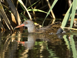 Water Rail photographed at Grands Marais/Pre [PRE] on 15/9/2011. Photo: © Mike Cunningham