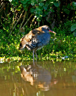Water Rail photographed at Rue des Bergers [BER] on 15/9/2011. Photo: © Mike Cunningham