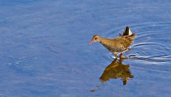 Water Rail photographed at Vale Pond [VAL] on 17/9/2011. Photo: © Anthony Loaring