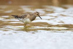 Pectoral Sandpiper photographed at Claire Mare [CLA] on 19/9/2011. Photo: © Chris Bale