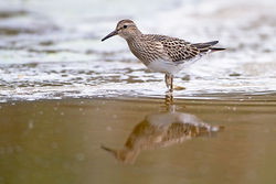 Pectoral Sandpiper photographed at Claire Mare [CLA] on 20/9/2011. Photo: © Chris Bale