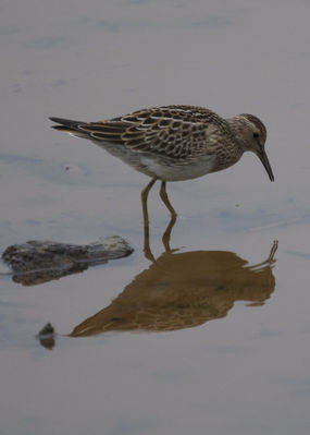 Pectoral Sandpiper photographed at Claire Mare [CLA] on 21/9/2011. Photo: © Cindy  Carre
