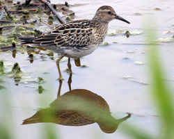 Pectoral Sandpiper photographed at Claire Mare on 21/9/2011. Photo: © Cindy  Carre