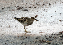 Pectoral Sandpiper photographed at Select location on 21/9/2011. Photo: © Cindy  Carre