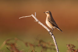 Wheatear photographed at Pleinmont [PLE] on 22/9/2011. Photo: © Chris Bale