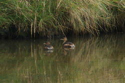 Little Grebe photographed at Vale Pond [VAL] on 24/9/2011. Photo: © Steve and Hilary Wild