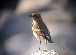 Wheatear photographed at Pulias [PUL] on 24/9/2011. Photo: © Mark Guppy