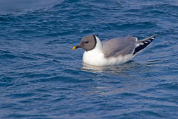 Sabine's Gull photographed at Pelagic on 25/9/2011. Photo: © Chris Bale