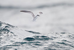 Little Tern photographed at Pelagic [PEL] on 25/9/2011. Photo: © Chris Bale